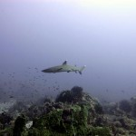White tip reef shark at Shark Point