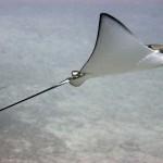 Eagle ray at Deep Turbo