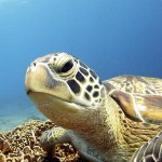 Green turtle at Sunset Reef