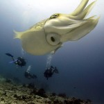 Cuttlefish at Halik Reef, Gili Trawangan