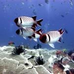 Bronze soldierfish at Gili Air Wall